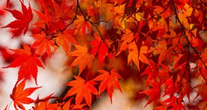 Maple Leaf Season